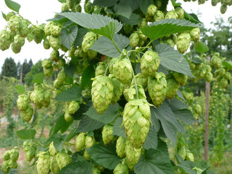 Image result for hop cones pic